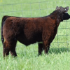 "This January calf is the ""Beast of the Southeast"". You will be amazed by the width and dimension of this calf. He is very wide in his top very powerfull quartered calf that is so impressive in his hip design and depth of quarter. This MAB is out of the same dam as ""The Ohio Senator"" and takes all the guess work out of it. This calf will be ready to win early and often. Buy with confidence this one is a flat good beast. All calves can be kept at our expense and risk until Aug 1st 2017."